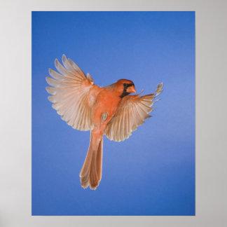 Northern Cardinal, Cardinalis cardinalis, male Poster