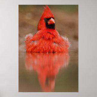 Northern Cardinal Cardinalis cardinalis) male Poster