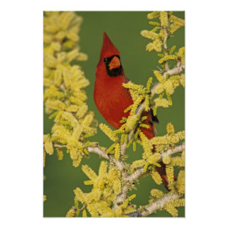 Northern Cardinal, Cardinalis cardinalis,male Poster