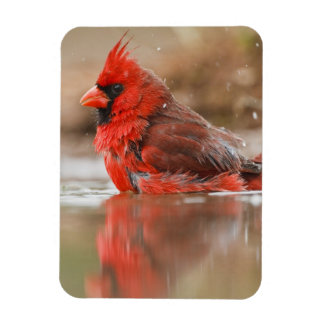 Northern Cardinal (Cardinalis cardinalis) male Rectangular Photo Magnet