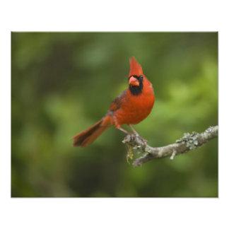 Northern Cardinal, Cardinalis cardinalis, Photo Art