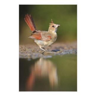 Northern Cardinal Cardinalis cardinalis) Photo Print