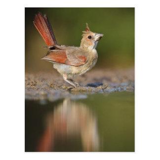 Northern Cardinal Cardinalis cardinalis) Postcard