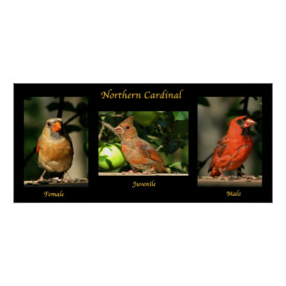 Northern Cardinal Family Poster