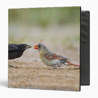 Northern Cardinal feeding baby cowbird 3 Ring Binders