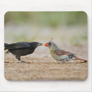 Northern Cardinal feeding baby cowbird Mouse Pad