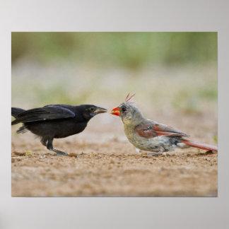 Northern Cardinal feeding baby cowbird Poster