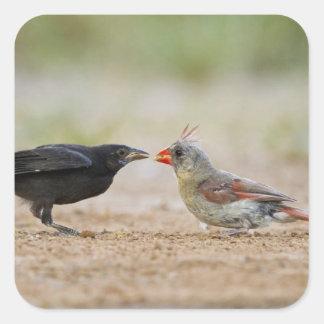 Northern Cardinal feeding baby cowbird Square Sticker