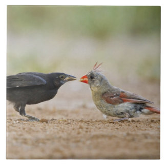 Northern Cardinal feeding baby cowbird Tile