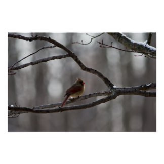 northern-cardinal-female-2013-12-25 poster