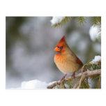 Northern Cardinal female in spruce tree in winter Postcard