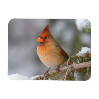 Northern Cardinal female in spruce tree in winter Rectangular Photo Magnet