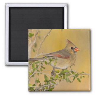 Northern Cardinal female perched on branch Magnet