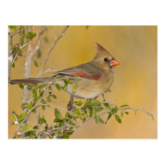 Northern Cardinal female perched on branch Postcard