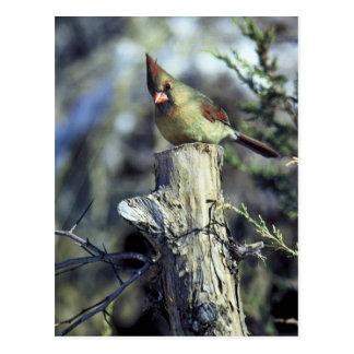 Northern cardinal-female postcard