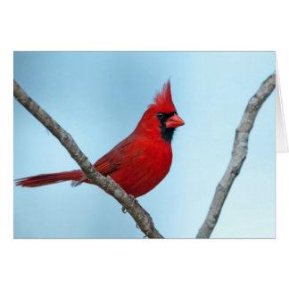 Northern Cardinal Greeting Cards