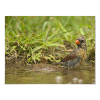 Northern Cardinal in backyard pond, Photo Print