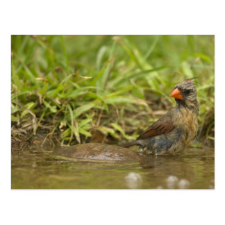 Northern Cardinal in backyard pond, Postcard