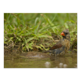 Northern Cardinal in backyard pond, Poster