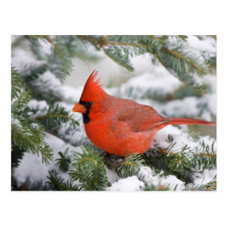 Northern Cardinal in Balsam fir tree in winter Postcard
