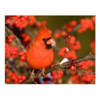 Northern Cardinal in Common Winterberry Postcard