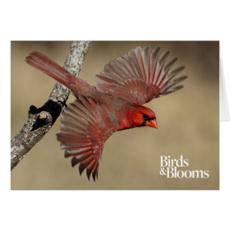 Northern Cardinal In Flight Card