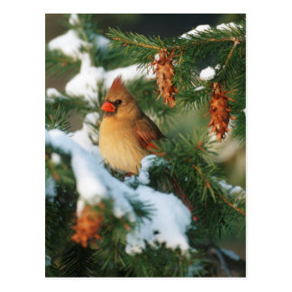 Northern Cardinal in tree, Illinois Postcard