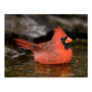 Northern Cardinal male bathing Postcard