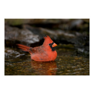 Northern Cardinal male bathing Poster