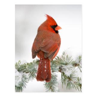 Northern Cardinal male on Blue Atlas Cedar Postcard