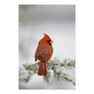 Northern Cardinal male on Blue Atlas Cedar Poster