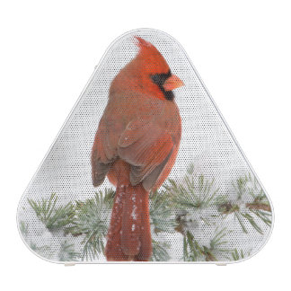 Northern Cardinal male on Blue Atlas Cedar Speaker