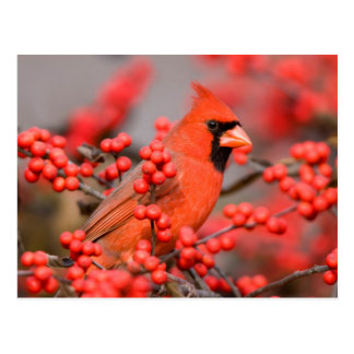 Northern Cardinal male on Common Winterberry Postcard