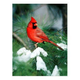 Northern Cardinal male on tree, IL Postcard