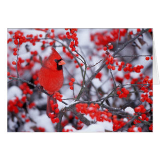Northern Cardinal male, Winter, IL Card