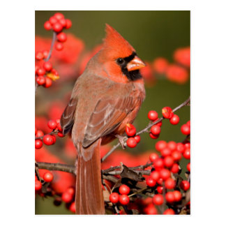 Northern Cardinal on Common Winterberry Postcard