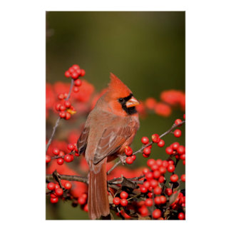 Northern Cardinal on Common Winterberry Poster