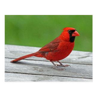 """Northern Cardinal or """"Redbird"""" Postcard"""