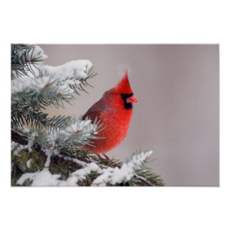 Northern Cardinal Perched In A Tree Poster