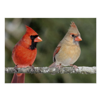 Northern Cardinal Photograph Poster