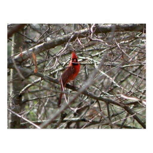 Northern Cardinal Postcard