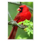 Northern cardinals photo print