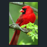 "Northern cardinals photo print<br><div class=""desc"">Pictures of Northern Cardinal</div>"