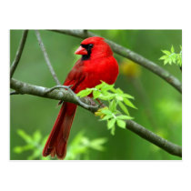Northern cardinals postcard