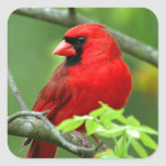 Northern cardinals square sticker