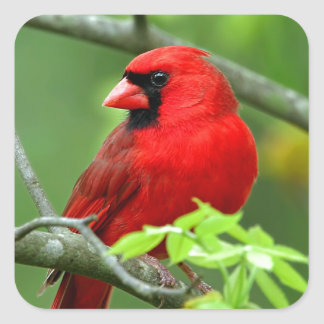 Northern cardinals square sticker