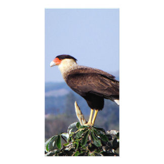 Northern Crested Caracara Bird of Prey on tree Card
