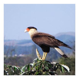 Northern Crested Caracara Bird of Prey on tree Photo Print