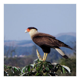 Northern Crested Caracara Bird of Prey on tree Poster