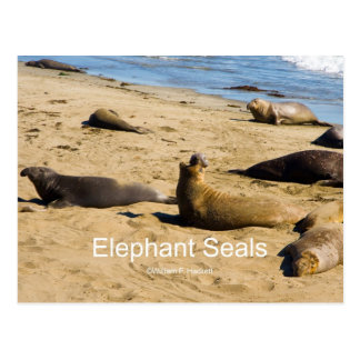 Northern Elephant Seal California Products Postcard